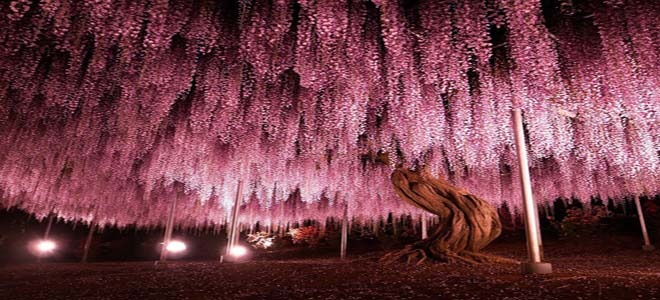 The tree of life in Ashikaga