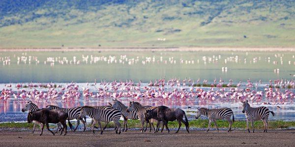 Savanna animals in migration period