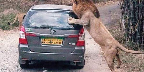 Be careful during the safari