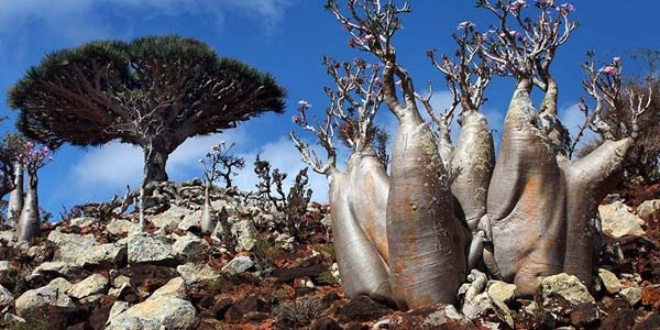 Socotra, the beautiful island of Yemen