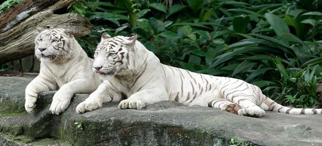 White tigers in Singapore Zoo