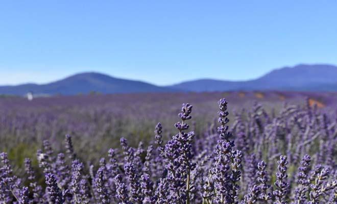 Flowering of lavender