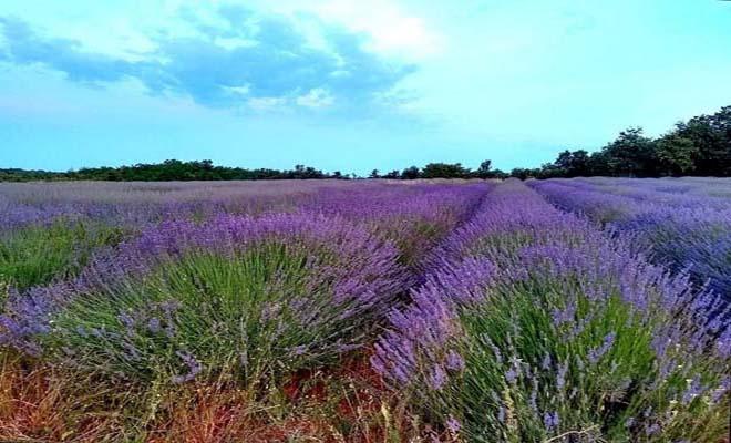 Lavender fields in Piedmont