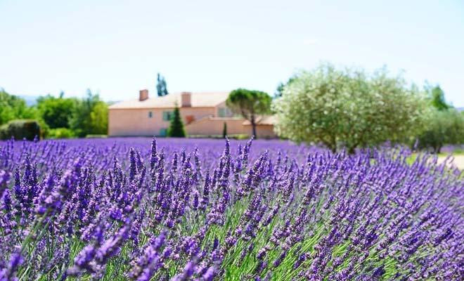 Lavender fields in Ravenna