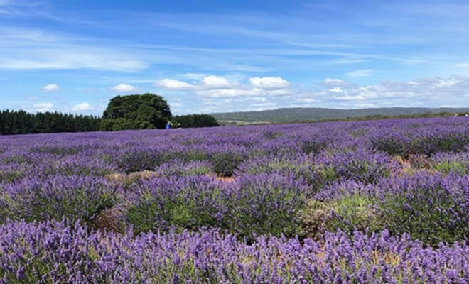 Lavender fields in Veneto