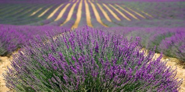 The most beautiful lavender fields in Italy